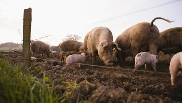When foraging on their own, pigs find their food by rooting.
