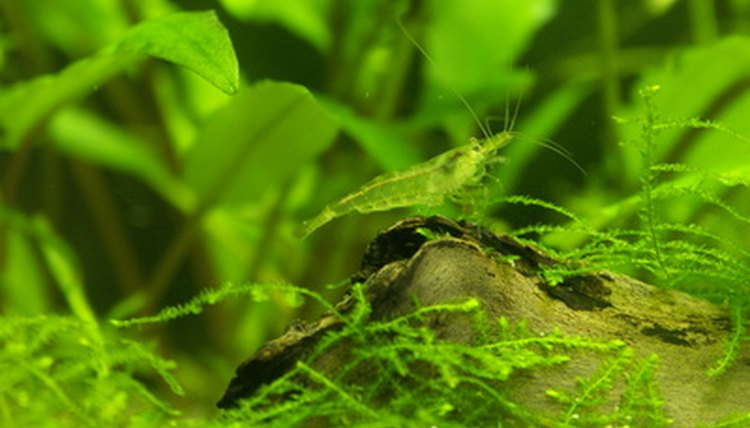 How to Know When Your Aquarium Ghost Shrimp Is Sick