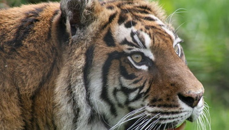 Tiger Or Hands Off Mom Both Types >> Mutualism Of The Tiger Animals Mom Me