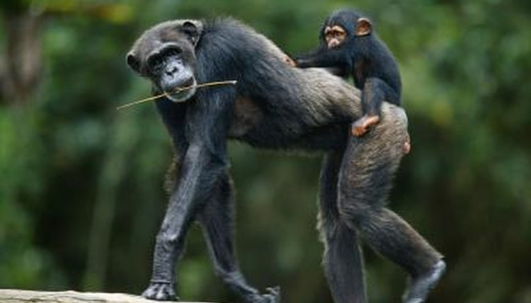 Chimpanzee walking with baby in rainforest.