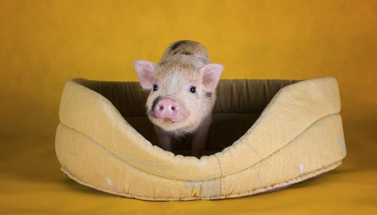 How to Care for Pot-Bellied Pigs | Animals - mom me