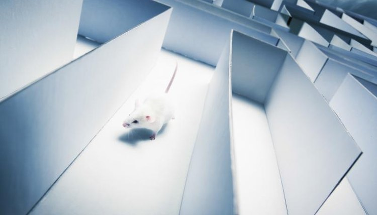 Mouse running through large maze