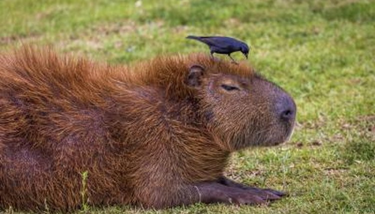 A capybara sits in a plot of grass.