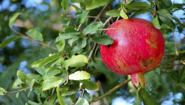 Pomegranate fruit hanging from tree