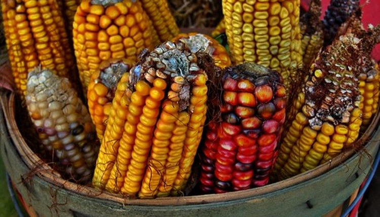 Corn cobs and corn husks were used to make Native American games.