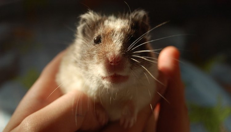 Hamster Care & Dandruff | Animals - mom me