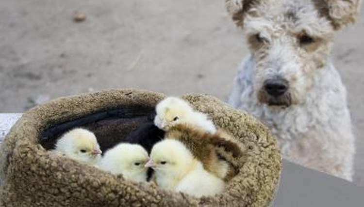 Animal The Dog Is Watching The Chicks Image By Tudor Stanica From Fotoliacom Slideshare What Is Kingdom Animalia Animals Momme