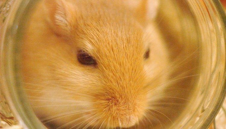 How Long Are Gerbils Pregnant? | Animals - mom me
