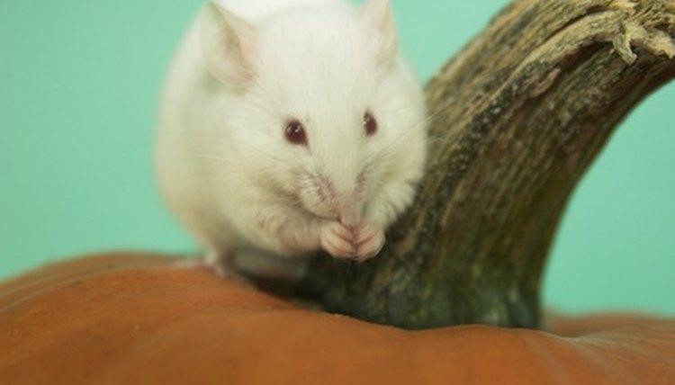 White Mouse On Pumpkin Image By Katja Kodba From Fotolia