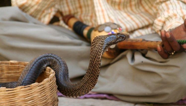 Diamondback Rattlesnake Vs King Cobra