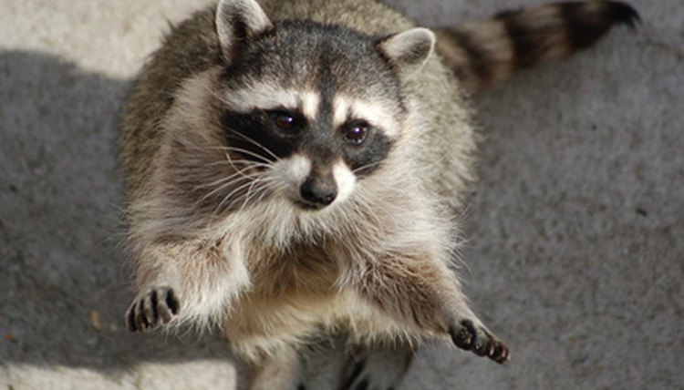 Are There Rabies Shots for Raccoons? | Animals - mom me