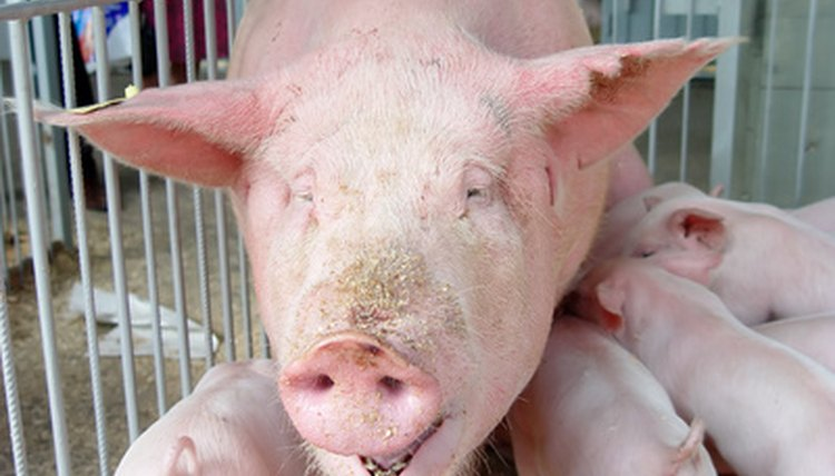 What Are the Treatments for Pinkeye in Swine? | Animals - mom me