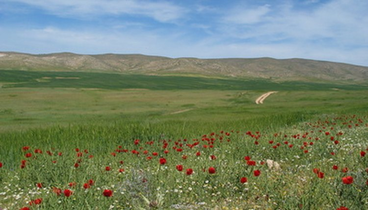 Flowers blooming in the Israeli desert near the city of Arad.