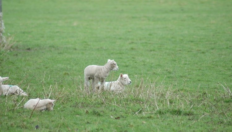 How to Treat Colic in Sheep | Animals - mom me