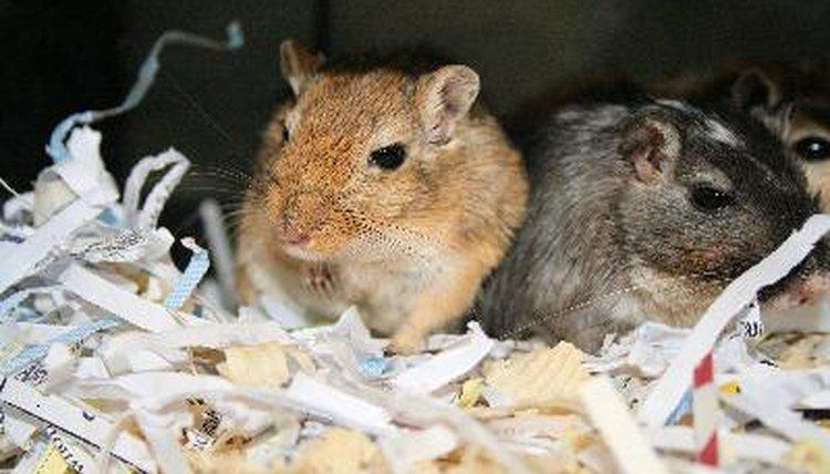 Having a Gerbil as a Pet | Animals - mom me