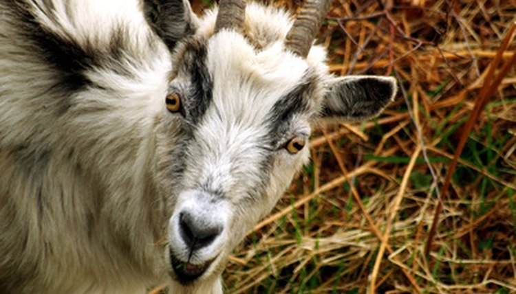 What Are the Treatments for Ringworm on Goats? | Animals - mom me