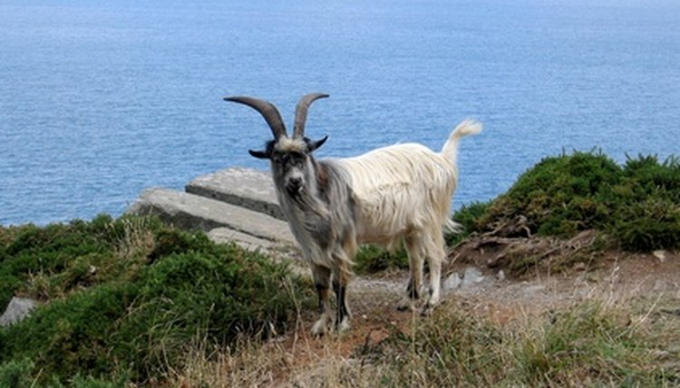 Signs of Dehydrated Goats | Animals - mom me