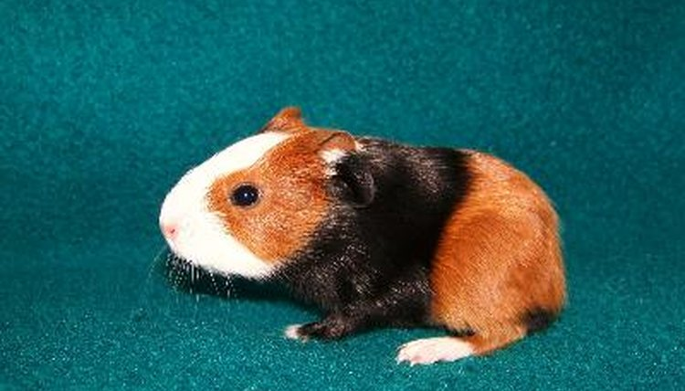 Guinea pig anal impaction procedure 3936 valuable answer