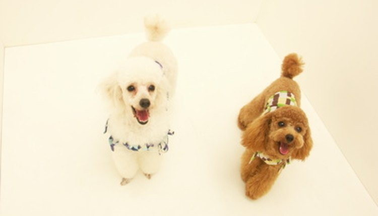 Pet Dog Poodle Image By ã ームン From Fotolia Com