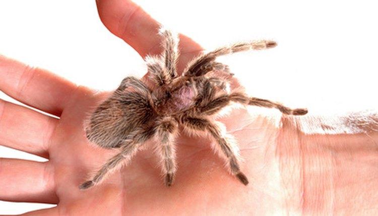 Pet Tarantulas Molting Injuries Animals Mom Me