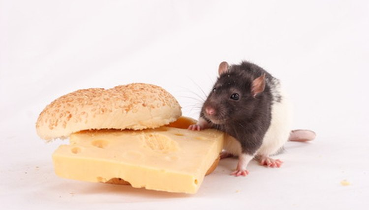 The Rat On Cheese Sandwich Image By Oleg Sviridov From Fotolia