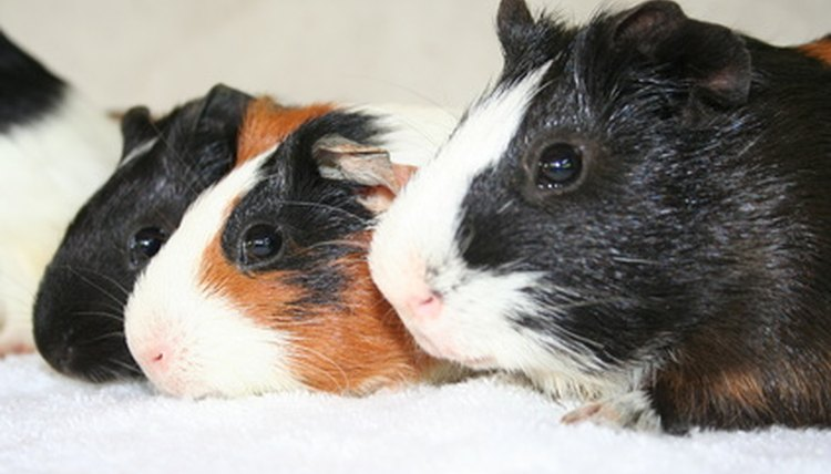 Toxic Woods for Guinea Pigs | Animals - mom me