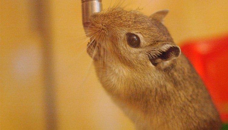 Sickness in Gerbils | Animals - mom me