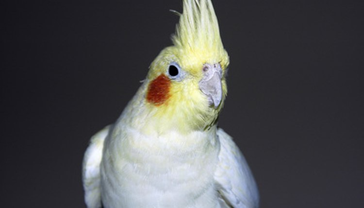 What Are the Treatments for Cockatiel Lice? | Animals - mom me