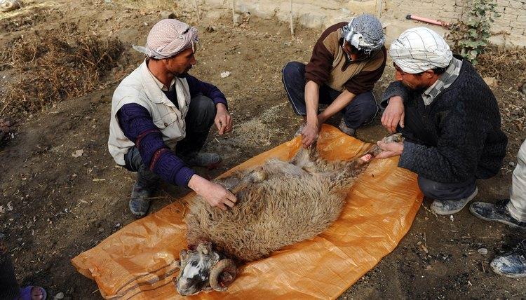 Afghans prepare a ram for Eid al-Adha.