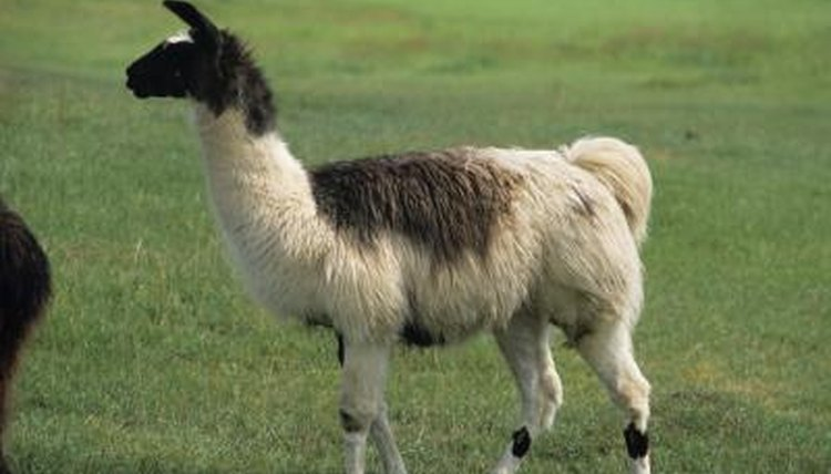 What Is The Habitat Of A Llama Animals Momme
