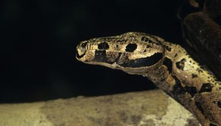 Boa constrictor feeding guide animals mom tom brakefieldstockbytegetty images ccuart Images