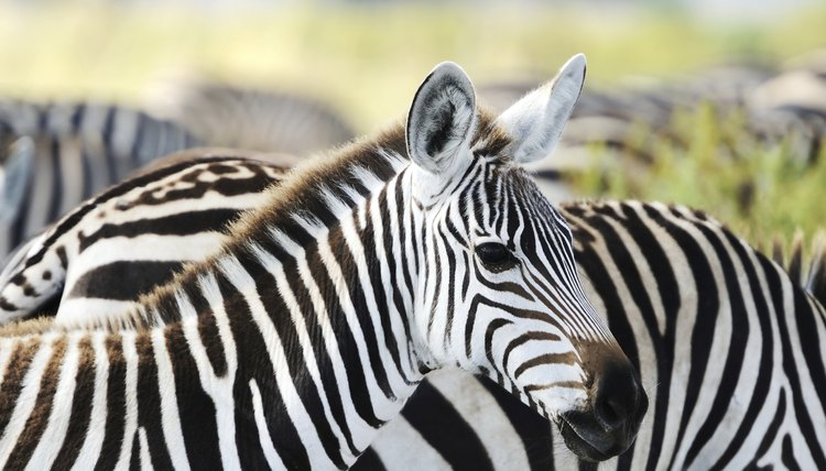What Kind of Noise Does a Zebra Make? | Animals - mom me