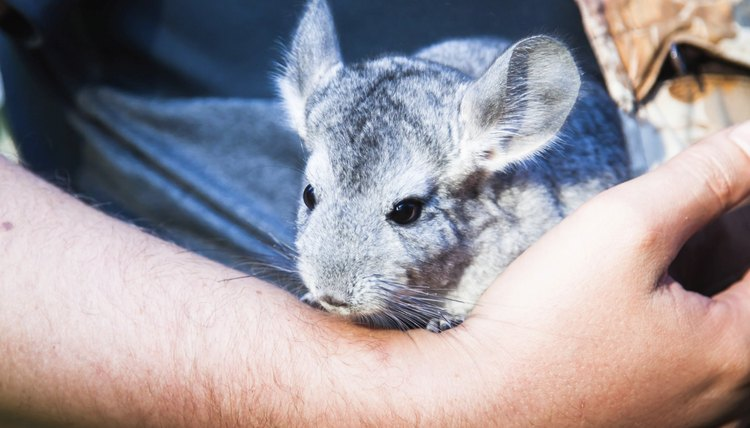 Signs a Chinchilla Is Giving Birth | Animals - mom me