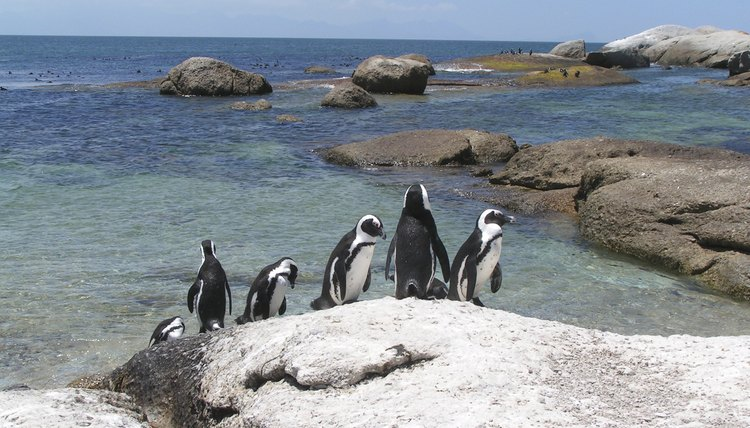 Cape Point penguins