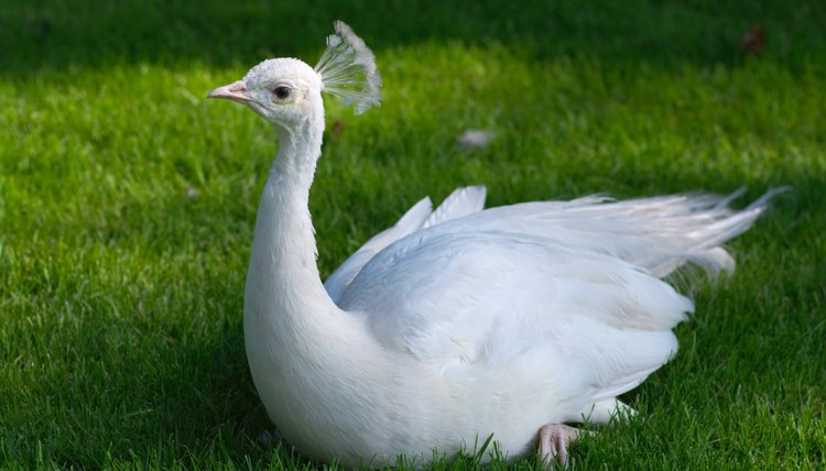 A single white peacock represents beauty and peace as well as the struggle of remaining flightless for its lifetime