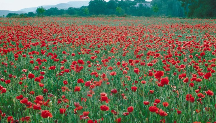 Poppies grew on the battlefields and graveyards of World War I's Western Front.