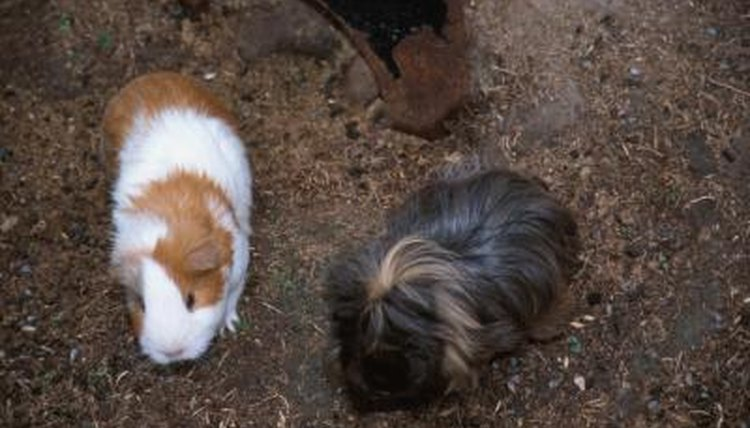 How to Introduce a Baby Guinea Pig to an Adult | Animals