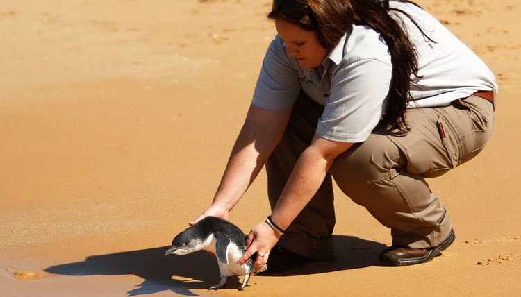 Little Penguins Return To The Sea After Taronga Zoo Rescue