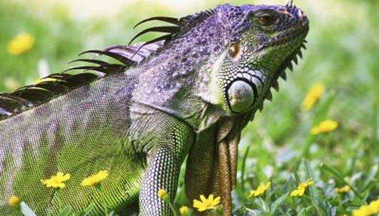 How Long Until An Iguana Is Full Grown Animals Mom