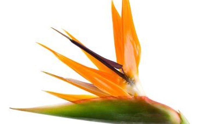Bird of paradise hook up