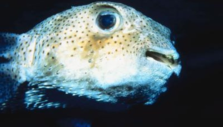 What Household Food Can Puffer Fish Eat? | Animals - mom me