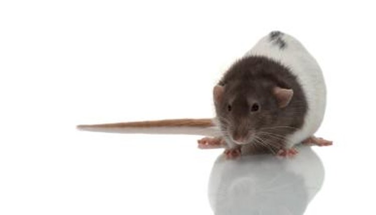 Things Rats Can Do for Fun | Animals - mom me