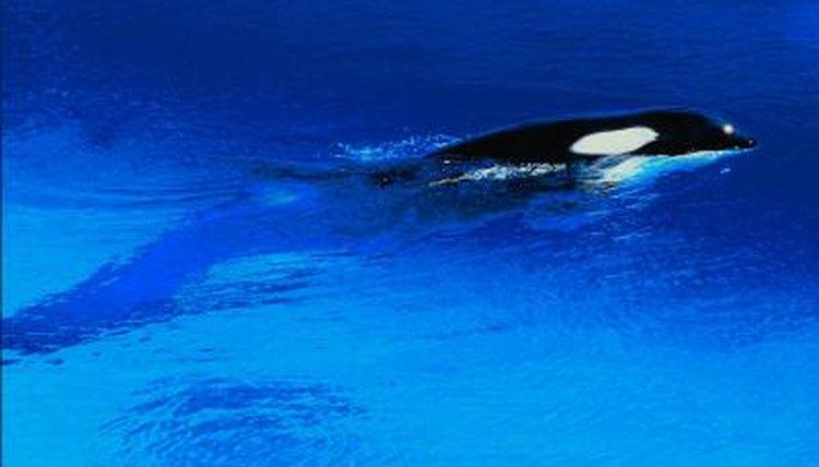 killer whale eyespot