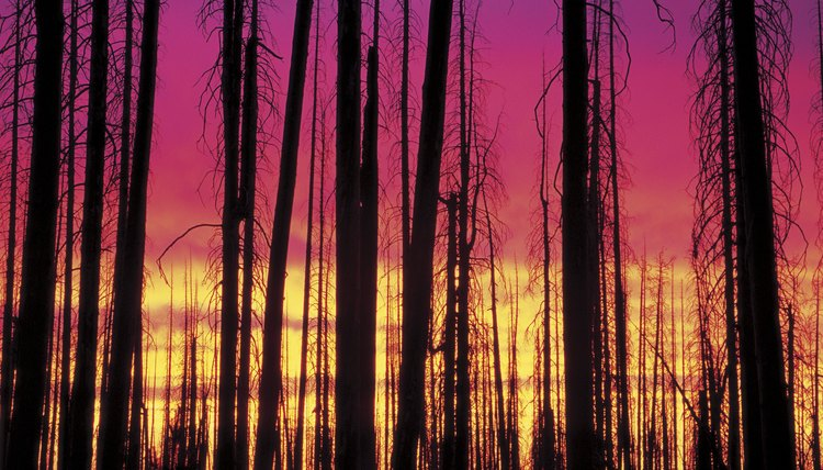 Fires can devastate a forest, but eventually new life moves in and the ecosystem heals.