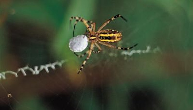 92814476_XS how do spiders reproduce by live birth or by eggs? animals mom me