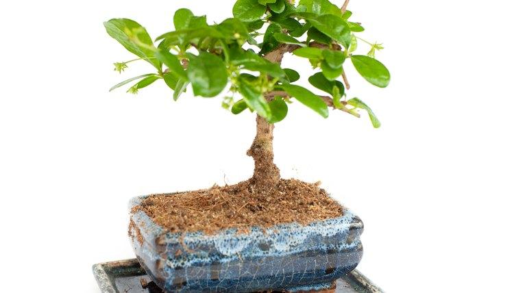Cuidados Com árvore De Ginseng Ficus Ginseng