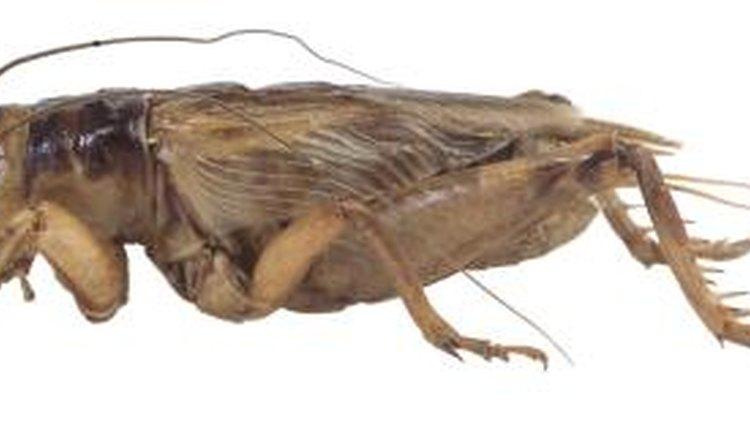 Am I Feeding Too Large Crickets