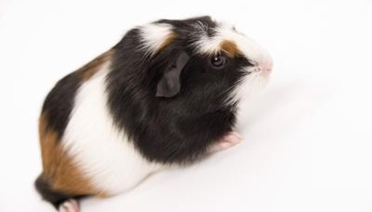 How Old Does a Guinea Pig Have to Be to Leave Its Mom