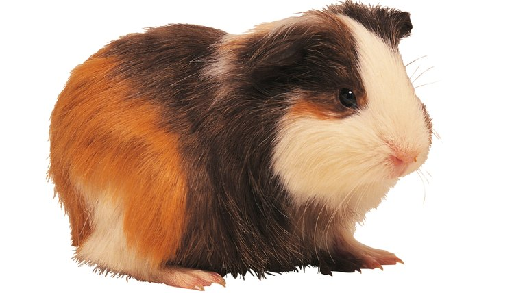 How Will My Guinea Pig Act Before Giving Birth? | Animals
