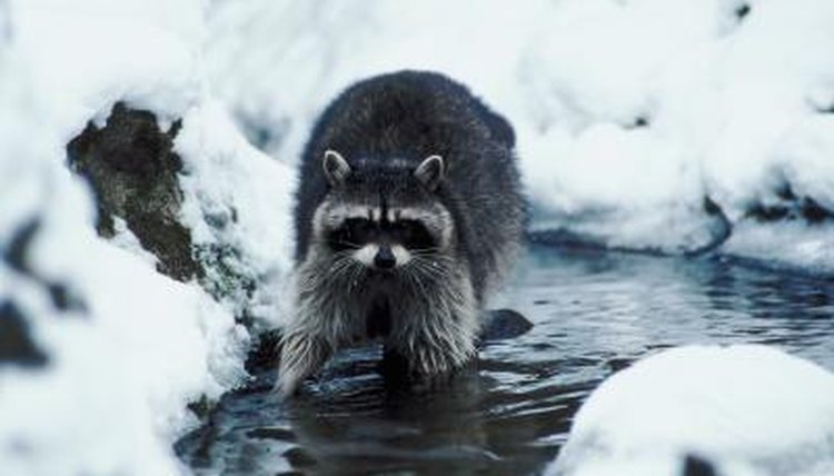 How Do Raccoons Adapt During Winter? | Animals - mom me